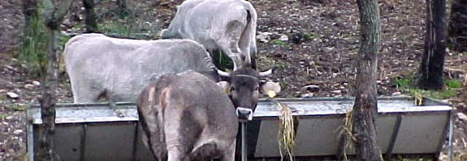 Maltempo, fulmine nel barese colpisce e uccide 10 mucche