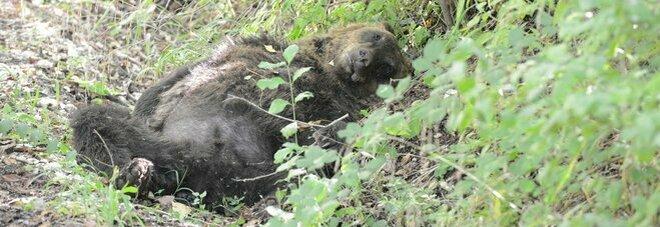 Orso ucciso, la Cassazione conferma il risarcimento