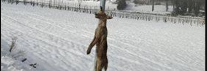 Volpe impiccata a un segnale stradale nel Maceratese: la foto choc