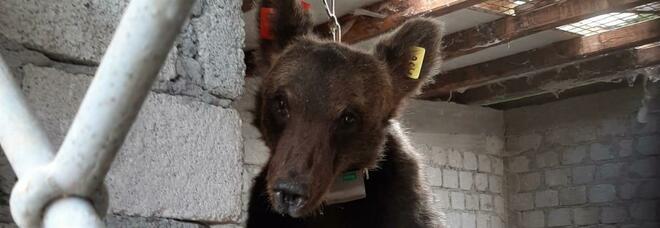 Blitz dell'orsetto Juan Carrito in un pollaio: si mette quasi in posa per una foto