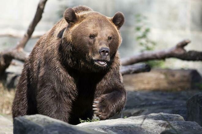 Abbattuto orso selvatico che si aggirava in una città giapponese