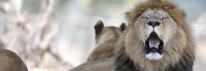 Sudafrica, il governo vieta di allevare leoni per la caccia