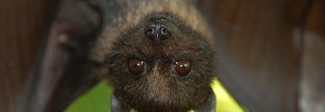 Coronavirus, analisi genetica accusa i pipistrelli