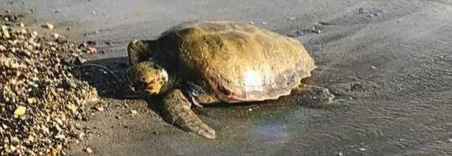 Una tartaruga su due del Mediterraneo ha mangiato plastica