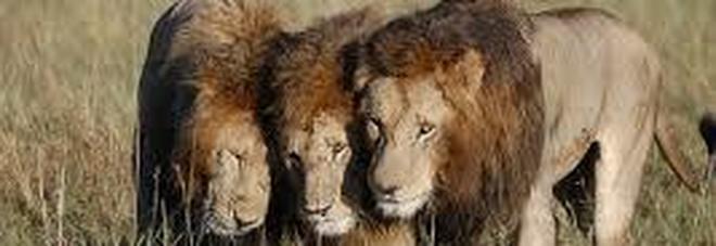 Sudafrica, mandria di leoni attacca e divora un cacciatore