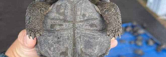 """Galapagos, 185 baby tartarughe per il mercato nero dei """"souvenir"""": chiuse in valigia all'aeroporto"""