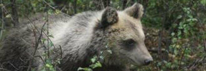 L'orsa Dj3 in uno zoo in Germania. Gli animalisti: «Spazi troppo ridotti»