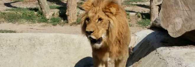 Zoo di napoli ecco il leone simba un giocherellone for Il mattino di napoli cronaca