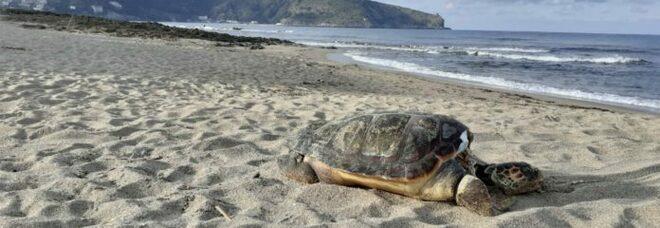 Cilento, tarturuga Caretta Caretta senza vita sulla spiaggia di Palinuro