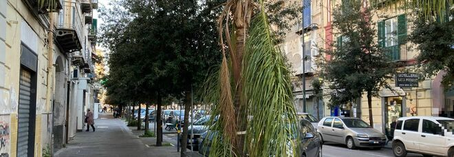 Degrado a Napoli Est, rami spezzati e chiome verso le abitazioni: sos decoro da Ponticelli