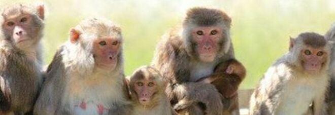 Cina, nelle foreste dello Yunnan ricompaiono le scimmie dorate: i rusultati della politica di ripopolamento