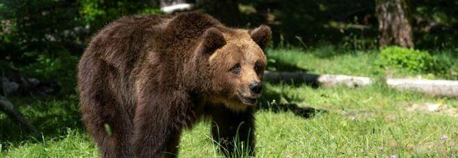 Usa, 39 uccisa da un orso mentre portava a spasso i cani