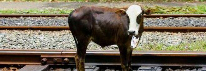 Treno investe bovino, disagi sulla linea ferroviaria nel Cilento