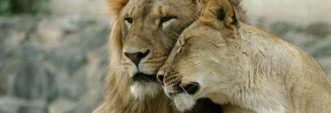 Covid India, 8 leoni positivi in uno zoo: infettati dagli addetti al parco
