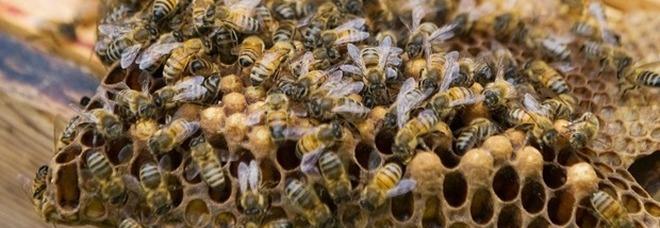 Attaccato da uno sciame di api, cacciatore muore per shock anafilattico