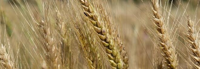 Grano, migliore da coltivazioni sostenibili: dimostrato il nuovo metodo 3D-breeding