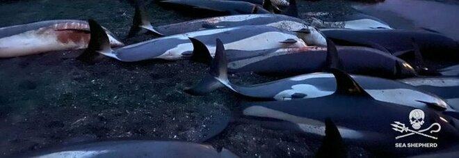 Delfini, la mattanza alle isole Faroe: branco di 1.500 esemplari (cuccioli compresi) massacrati per tradizione