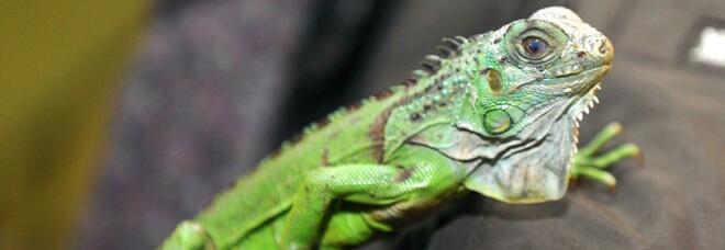 Napoli, esemplare di iguana a rischio estinzione trovato in una azienda