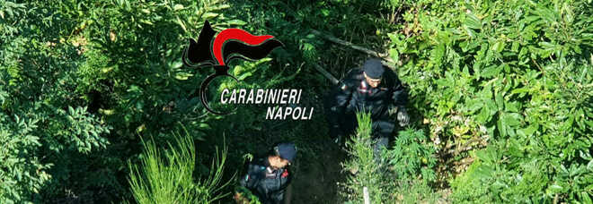 Monti Lattari: operazione anti-droga, sequestrate 115 piante di cannabis
