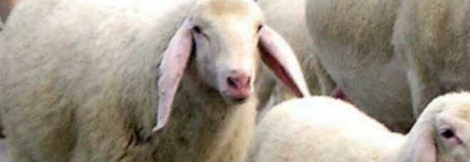 Lingua blu, il ministro Speranza annuncia: «120mila dosi di vaccino per i capi di bestiame»