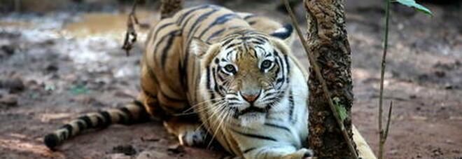 Tigre scavalca il recinto dello zoo in cui si trova e uccide il guardiano che l'ha cresciuta