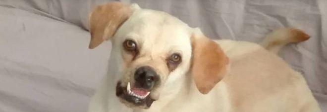 Ringhio Il Labrador Massacrato Di Botte Ora Nessuno Lo Adotta