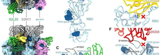 Variante Epsilon, nuova mutazione del virus rilevata in California: è più resistente agli anticorpi