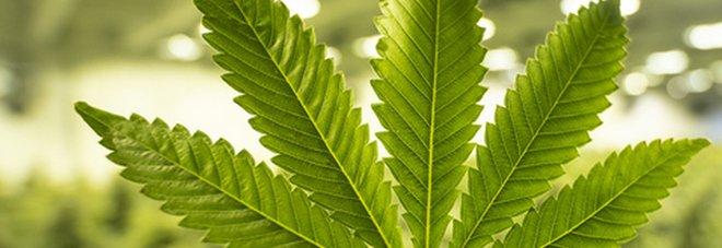Referendum, parte la campagna per legalizzare la cannabis