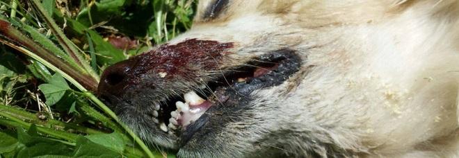 Polpette avvelenate, mattanza a Ricadi: «Venti cani uccisi in sei mesi». Ed è paura anche per i bambini