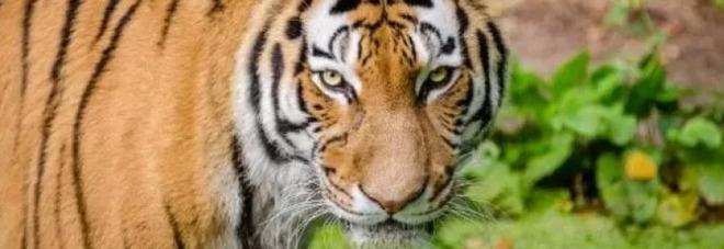 Dopo 20 anni di ricerche, arrestato in Bangladesh un uomo sospettato di aver ucciso 70 tigri del Bengala