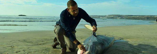 Un altro squalo bianco morto in Sudafrica, è il quarto. Ma stavolta le orche non c'entrano