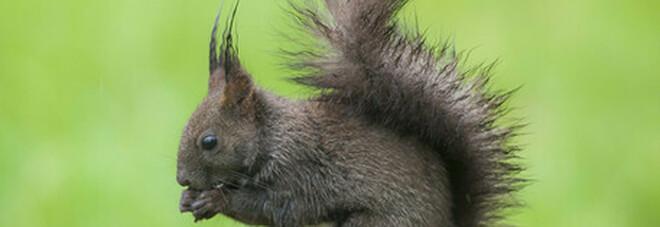 California, al lago Tahoe è allarme peste per gli scoiattoli: fino a venerdì aree chiuse