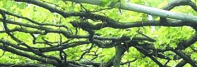 Una pianta di tintore