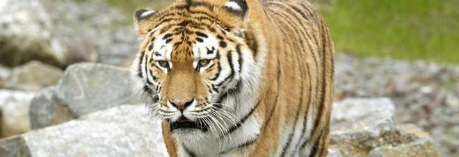 Primo intervento al mondo per implementare una protesi a una tigre