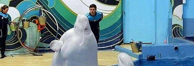 Glasha, il beluga obeso dell'acquario russo (immag pubbl da From the Dolphin's Point of View su Fb)