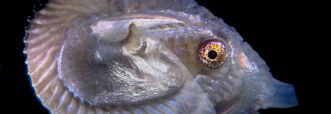 Il polpo Argonauta candidato mollusco dell'anno: esemplari trovati nel golfo di Napoli dai biologi della stazione Dohrn