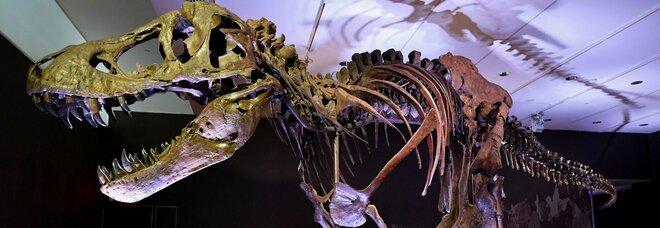 Scheletro di T-Rex gigante in vendita, l'asta da record di Christie's. Ecco quanto costa