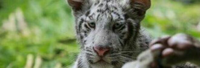 Covid, Usa: immunizzati animali zoo con vaccino sperimentale: per prime due tigri anziane