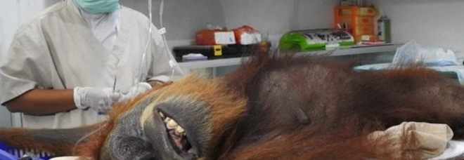 Hope, la mamma orango, sul tavolo operatorio. (foto pubblicata su Facebook da Sumatran Orangutan Conservation Program)
