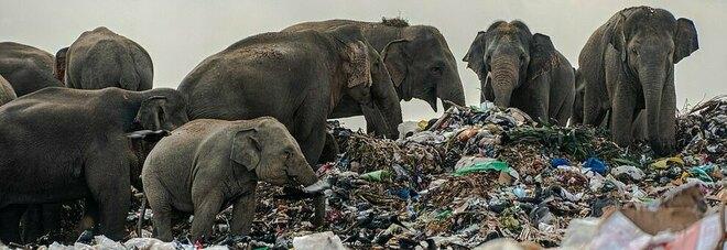 Drammatica situazione per alcuni elefanti costretti a ingerire della plastica
