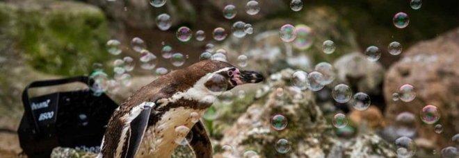Lo zoo piazza la macchina delle bolle nel recinto dei pinguini per divertire i visitatori. (immagine da good.newsstories su Instagram Newquay Zoo)