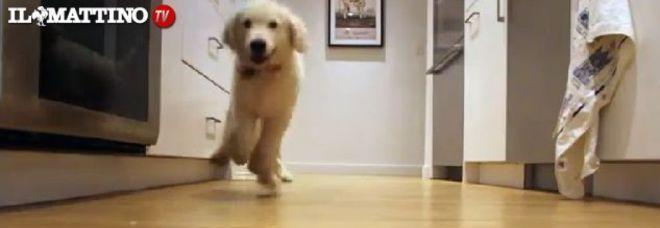 Il Video Da Cuccioli A Grandi Mangioni 9 Mesi Di Pappa Da Golden