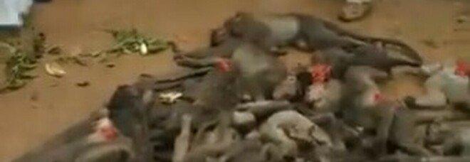 Orrore in India, 60 scimmie trovate avvelenate, picchiate e chiuse nei sacchi