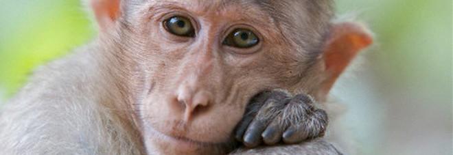 Scimmia scappa dalla gabbia, ora è in fuga. L'esperta: «Anche loro soffrono di paura e depressione»