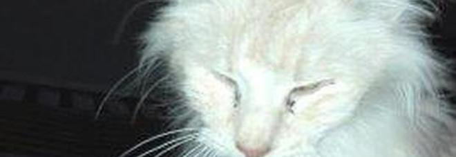 Gatti Norvegesi Denutriti E Malati 51 Animali Sotto Sequestro Il