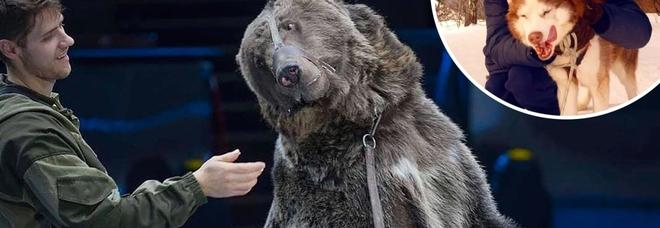 Orso sbrana il domatore: l'uomo si era dimenticato di togliersi la mascherina. «Non lo ha riconosciuto»