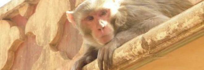 Muore saltando nel vuoto nel tentativo di sfuggire a un attacco di scimmie in India