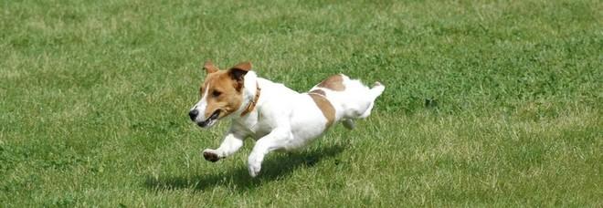 Cane lupo sbrana un jack russell: l'animale era al guinzaglio del suo padrone