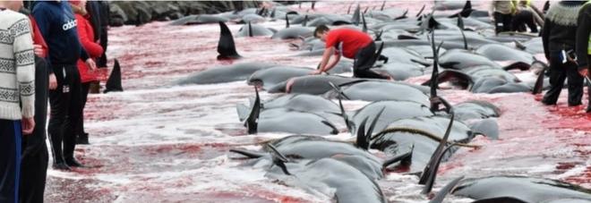Una immagine della mattanza delle balene alle isole Faroe (foto pubblicata da jn.fo e Sea Shepherd)