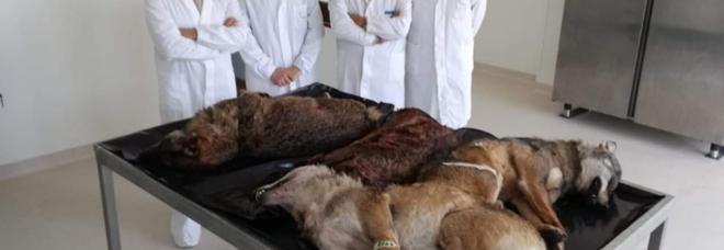 Quattro dei cinque lupi investiti sul tavolo anatominco, in attesa della necroscopia. (foto pubblicata dal medico veterinario Antonio Liberatore)